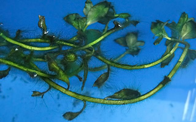 アオミドロ コケ 対策 駆除 方法 原因 ビオトープ エビ 食べる