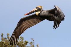 Brown Pelican Inflight