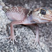 Underwoodisaurus milii (common thick-tailed gecko) by fotoscape2009