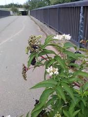 Fleur de passerelle