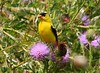 American goldfinch male at Chattahoochie Park IA 854A8771 by lreis_naturalist