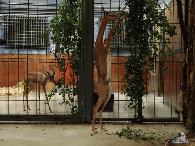 Zoo Berlin 26.08.2015  019