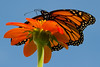 monarch-butterfly-8-29-2015-13.jpg