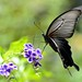 Black swallowtail butterfly by myu-myu