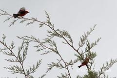 Chota bird