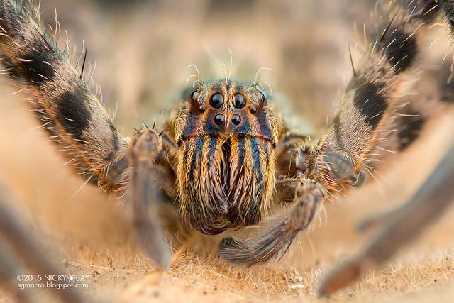 Wandering spider (Cupiennius sp.) - DSC_9650
