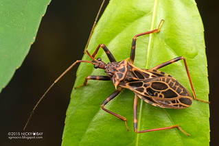Assassin bug (Reduviidae) - DSC_6786