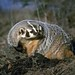 Small photo of American badger (taxidea taxus)