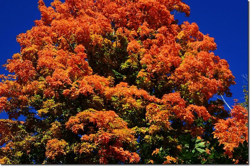 Sugar maple leaves (9)