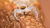 Hentzia mitrata jumping spider
