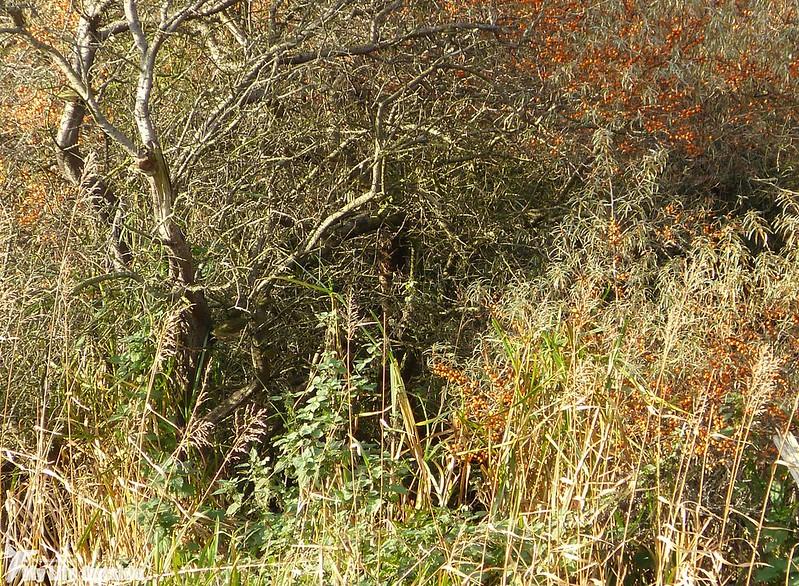 P1160703 - Long-eared Owl, Aberlady