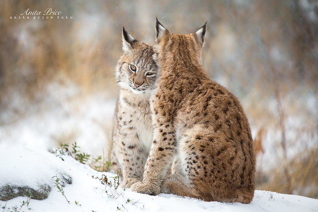 Lynx Love II