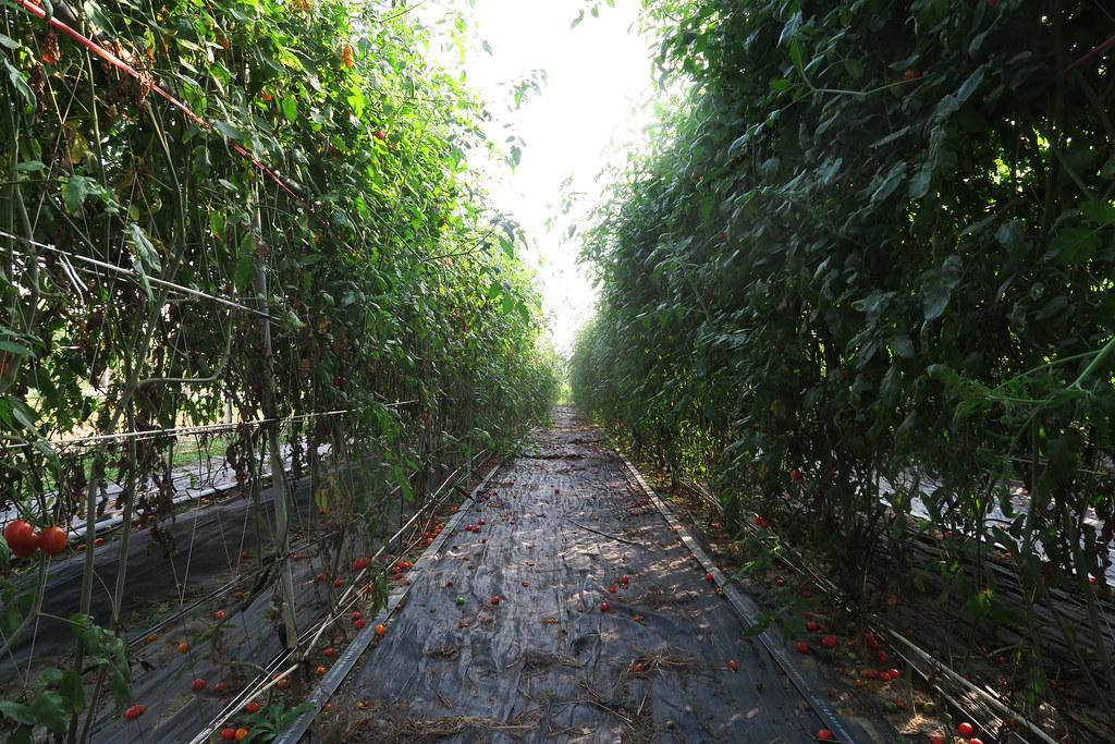 阿蓮三本草莓園 (13)