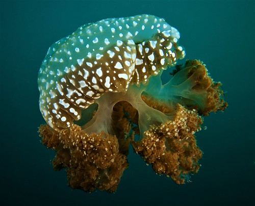 Jellyfish - 28th January 2017.