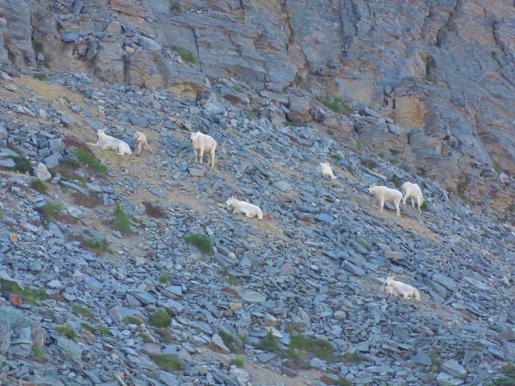 Mountain Goats on Burroughs Mountain