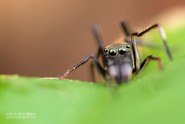 Ant-mimic jumping spider (Myrmarachne sp.) - DSC_0985