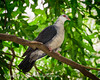 White-Headed Pigeon  (captive) by Brad Pedersen
