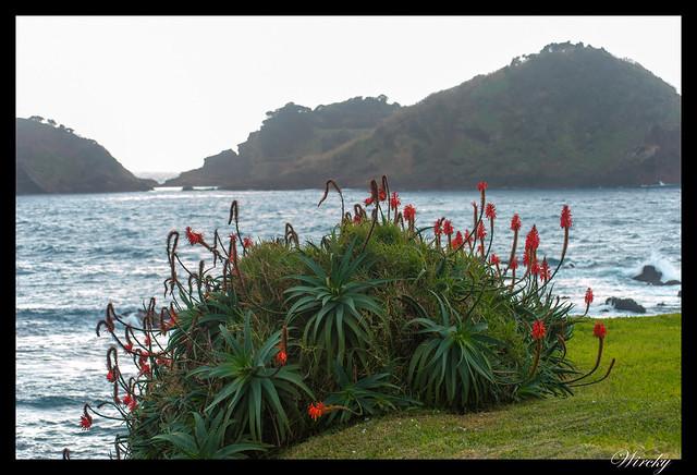 Playa de arena negra de Vila Franca do Campo - Plantas típicas de flores naranjas con isla de Vila Franca do Campo