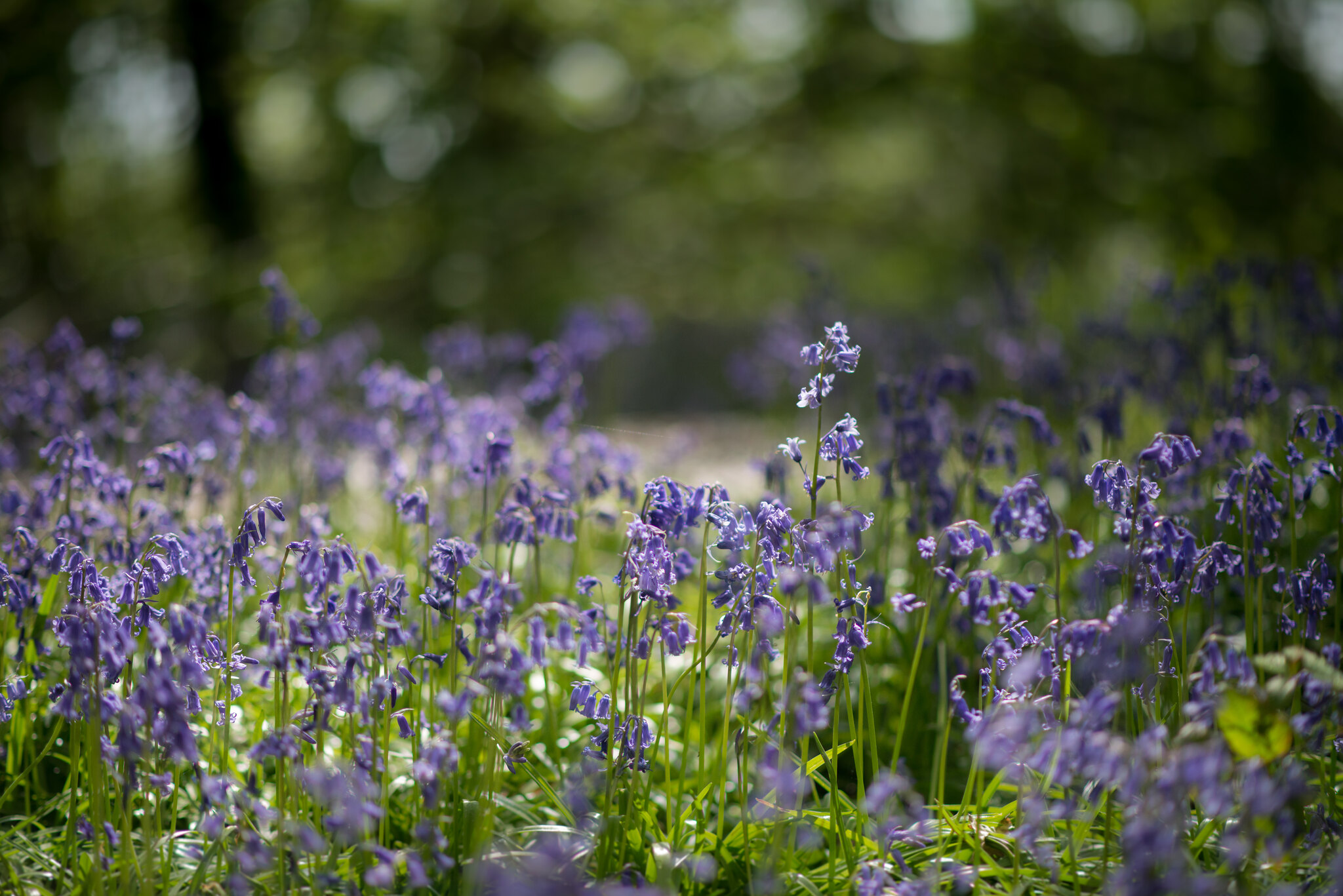 Purple Bluebells In Brittish Countryside