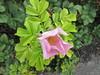 Single pink rose IMG_6204 by tomylees