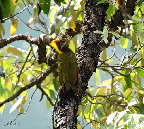 lesser yello-naped woodpecker