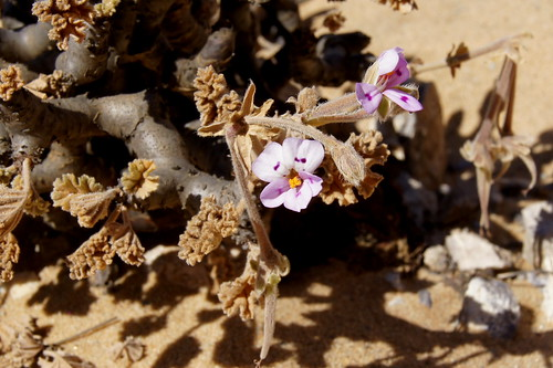 Pelargonium mirabile