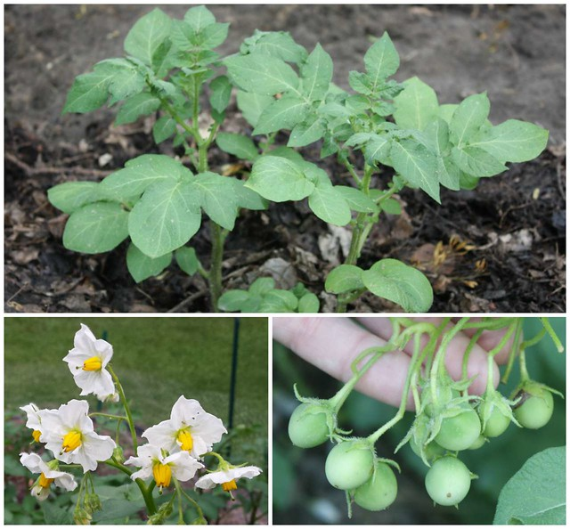 potato plants, flowers, and fruit