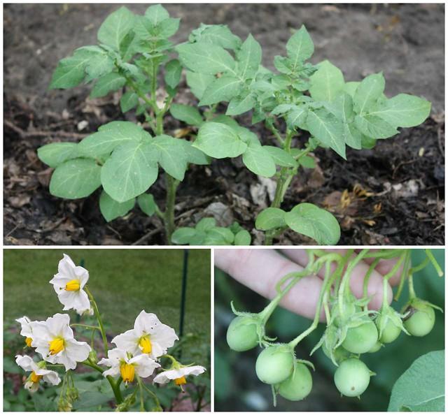 potato plants, flowers, and fruit