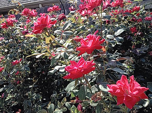 Heather's Knockout Roses