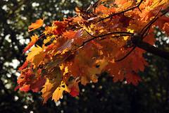 Herbstblätter (03)