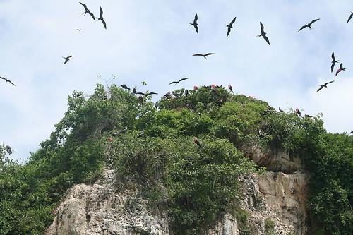 24 - Los Haitises national park  - Frigatebirds / Los Haitises Nationalpark - Fregattvögel
