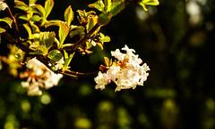 viburnum flower