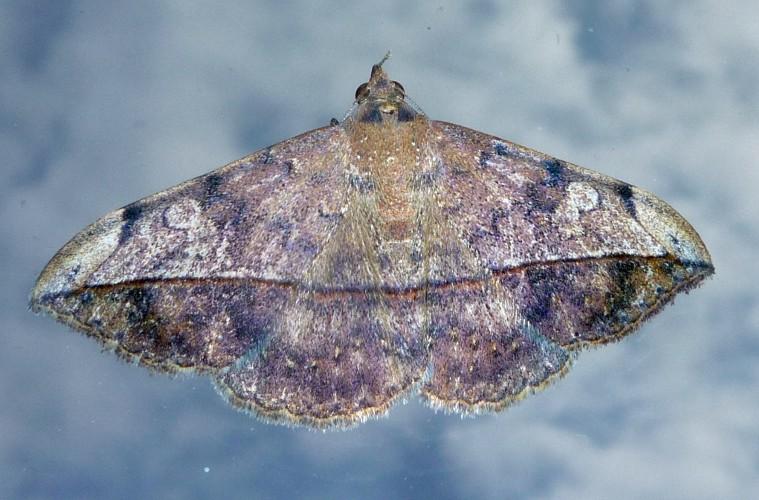 Anticarsia gemmatalis 22959145304_3d1bac42ac_o