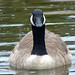 CANADA GOOSE by Maggie.Smith