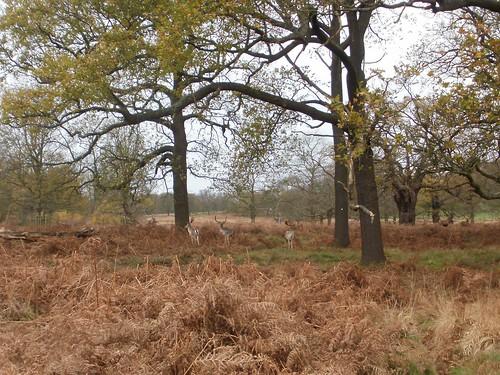 Deer in Richmond Park 3