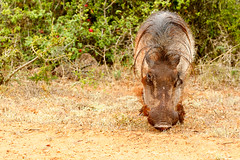 Front view of a common warthog