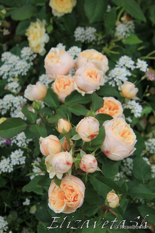 belle romantica rose (2)