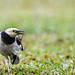 Black-collared Starling (黑領椋鳥)