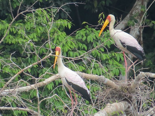 Yellow-billed stork in breeding plumage
