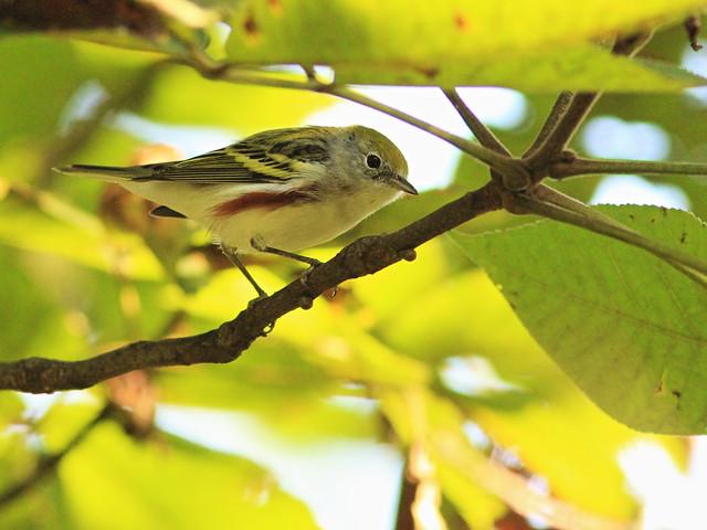 Chestnut-sided Warbler 2-20150916