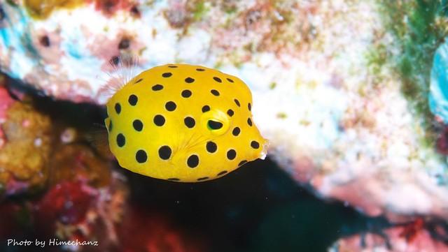 ちっちゃカワイイ、ミナミハコフグ幼魚