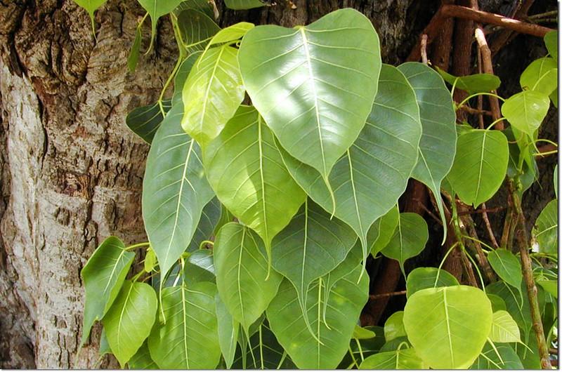 菩提樹,圖片來源(維基百科)