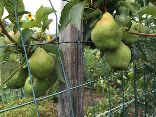 2015-08-08 pears IMG_2634