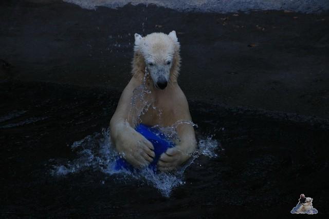 Eisbär Fiete im Zoo Rostock 05.12.2015  312