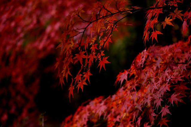 晩秋の深紅 Crimson