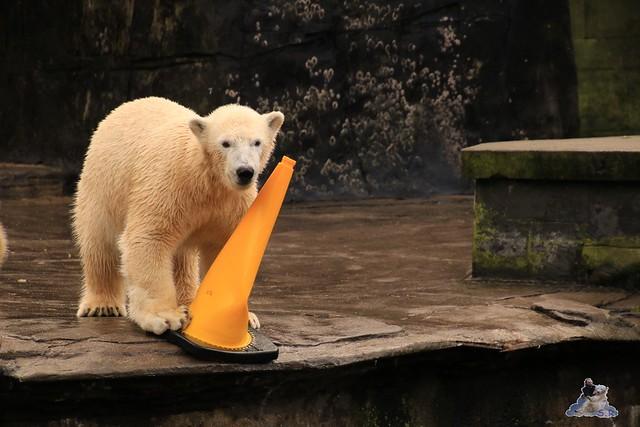 Eisbär Fiete im Zoo Rostock 13.12.2015  38