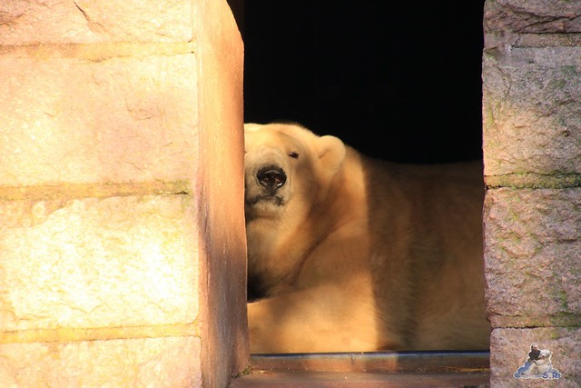 Eisbär Fiete im Zoo Rostock 13.12.2015  142