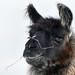 I love Llamas by annkelliott