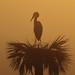 Sunrise Heron by Hammerchewer