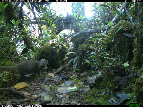A mongoose captured on a game camera in The Nature Conservancy's Waikamoi Preserve